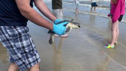 Houston Zoo released rehabilitated Kemp's ridley sea turtles back to the ocean