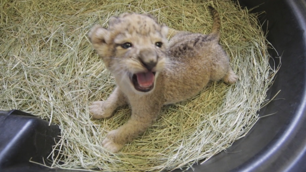 Dallas Zoo celebrating the birth of three African lion cubs